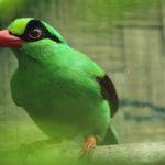 Javan green magpie (Photo by CCBC)