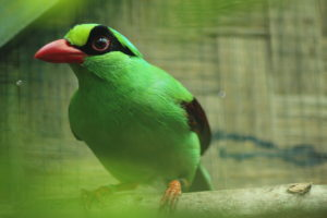 Javan green magpie (Photo by CCBC)